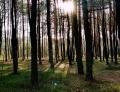 3. M. Śliwińska - Las w Bronisławowie
